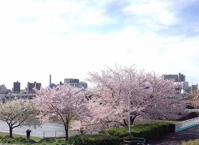 桜を撮影する人