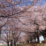 桜の樹の道