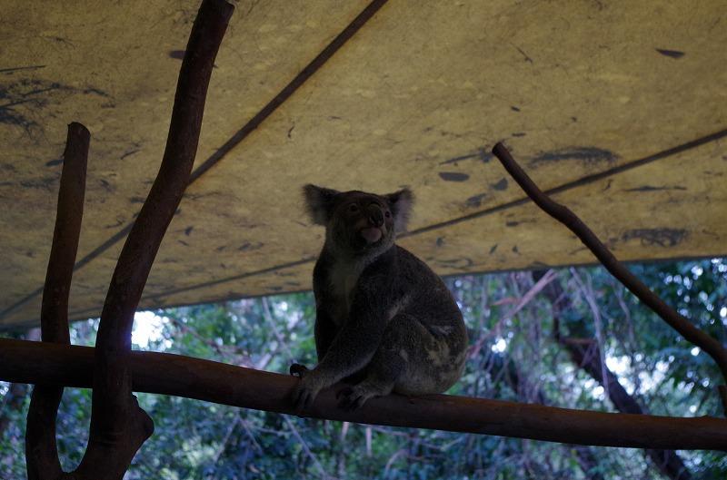 コアラです