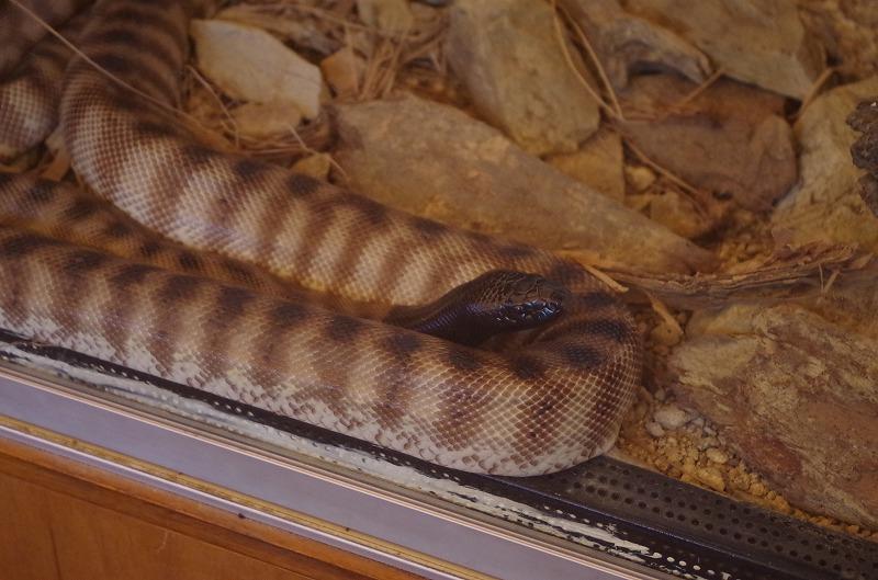 ニシキヘビです
