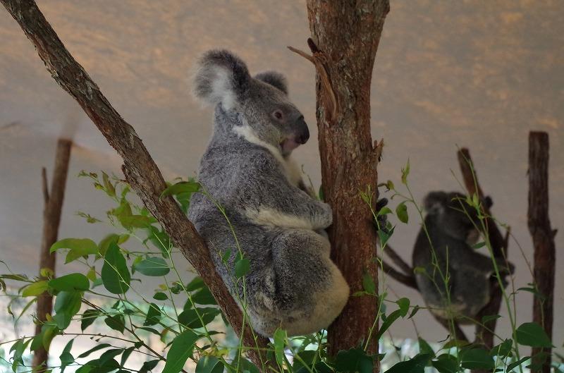 コアラです。休憩中です。