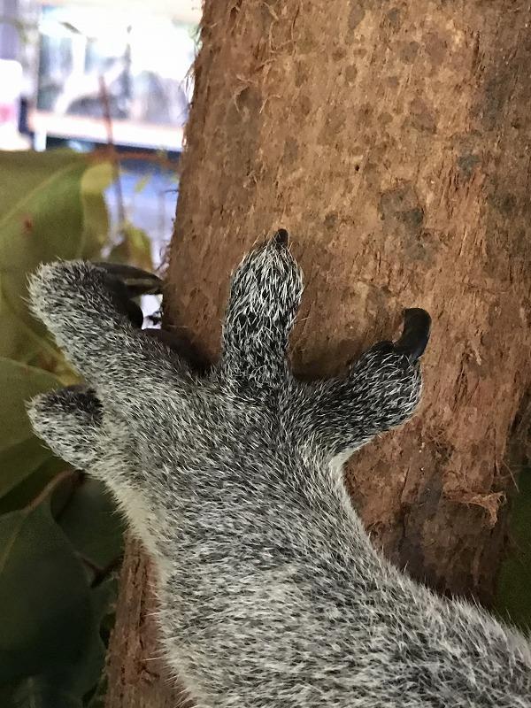 コアラの前腕と爪!