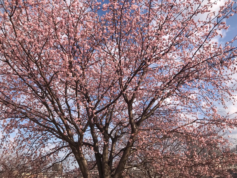 20190312初桜