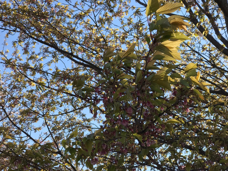 ダイカンザクラは葉桜に
